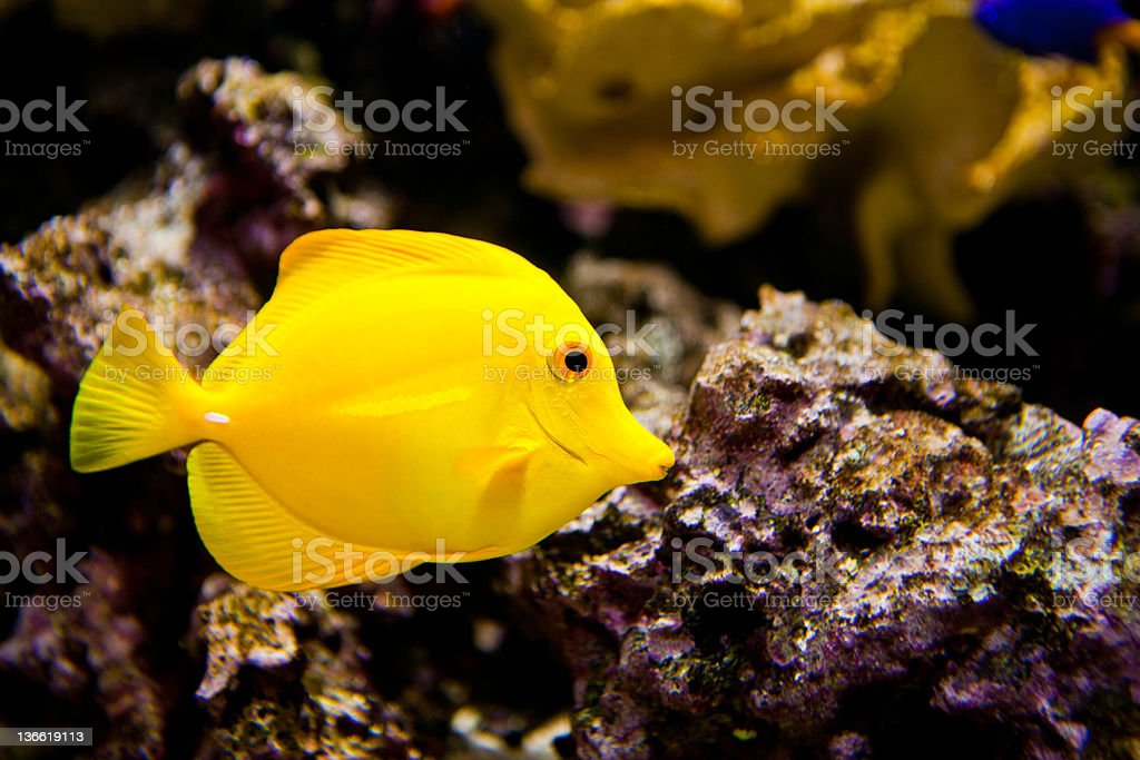 Tropical Yellow Fish stock photo