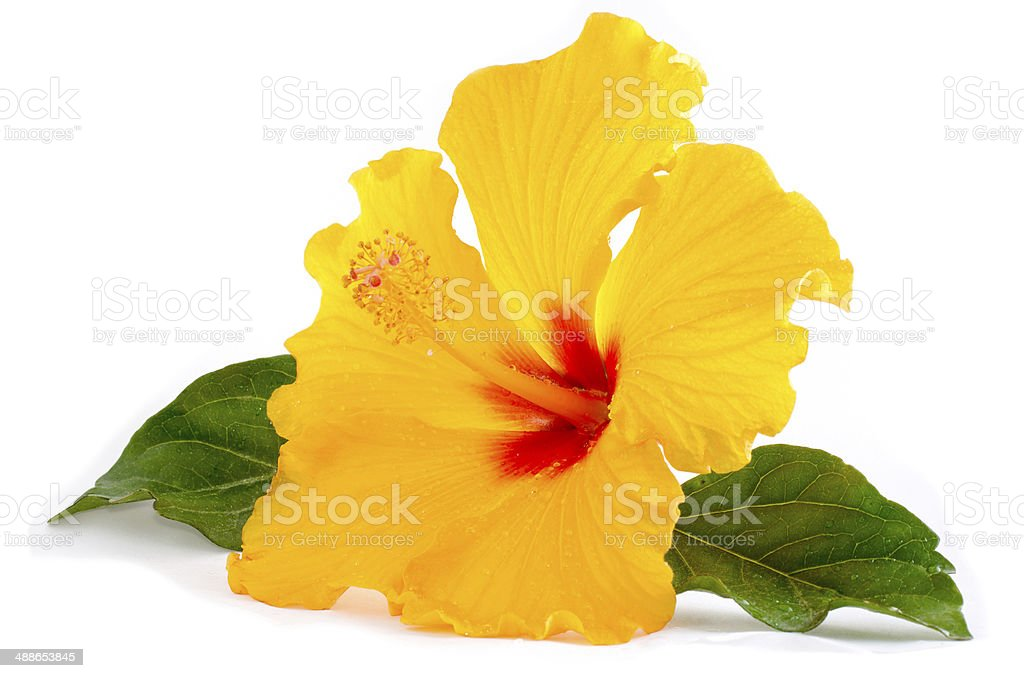 Tropische Gelben Hibiskus Blume Isoliert Auf Weiss Stock-Fotografie ...