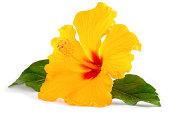 トロピカルな黄色いハイビスカスの花の白で分離