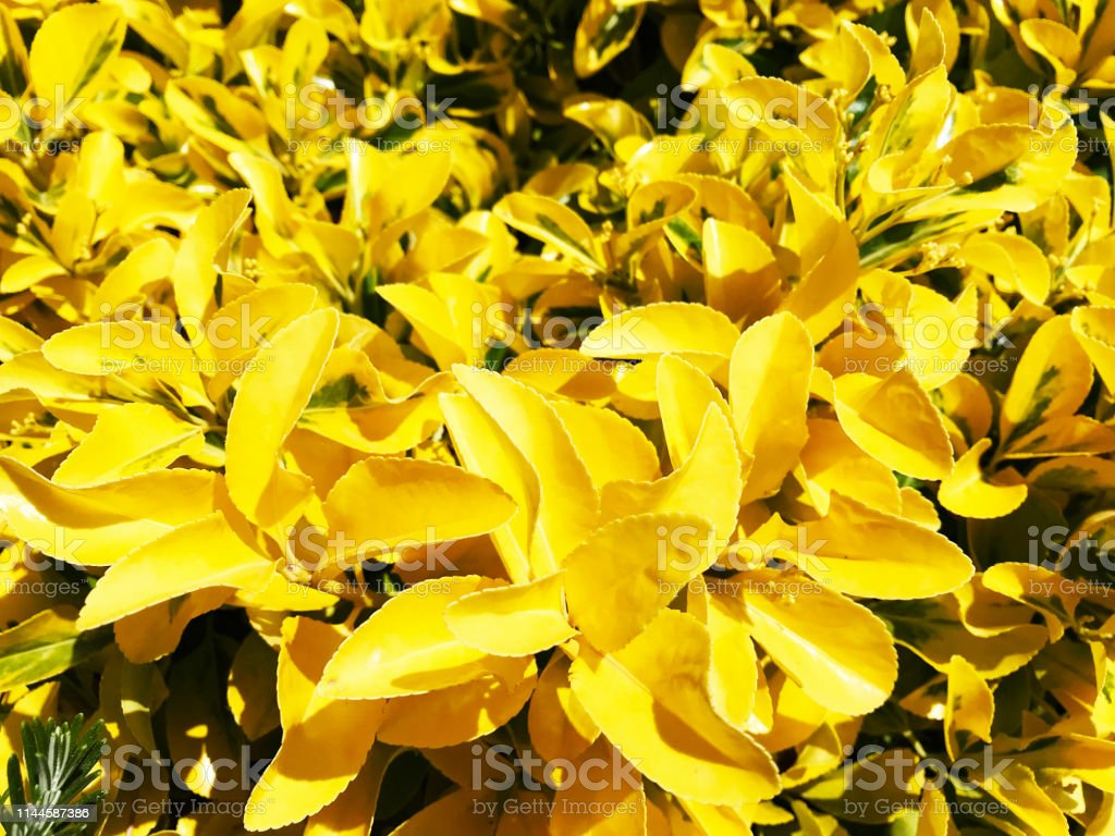 Tropical Yellow Leaves On A Bush Stock Photo Download Image Now Istock Yellow twig dogwoods are perfect focals for a mixed bed and are stunning when planted in mass or in a unique hedge. tropical yellow leaves on a bush stock photo download image now istock