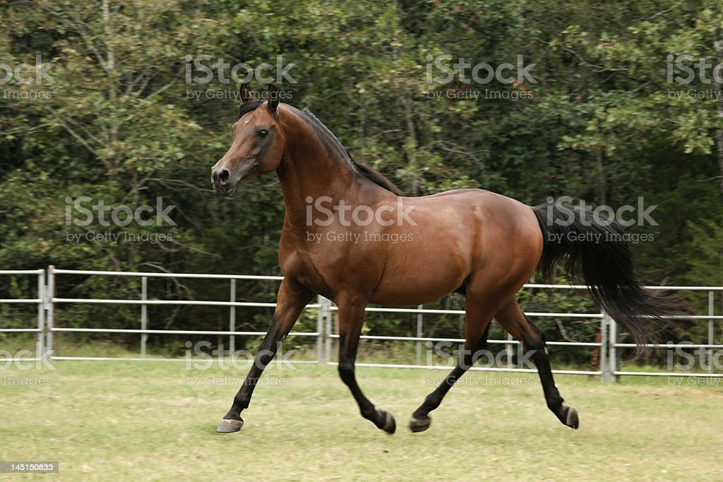 Trotting Arabian Stallion stock photo