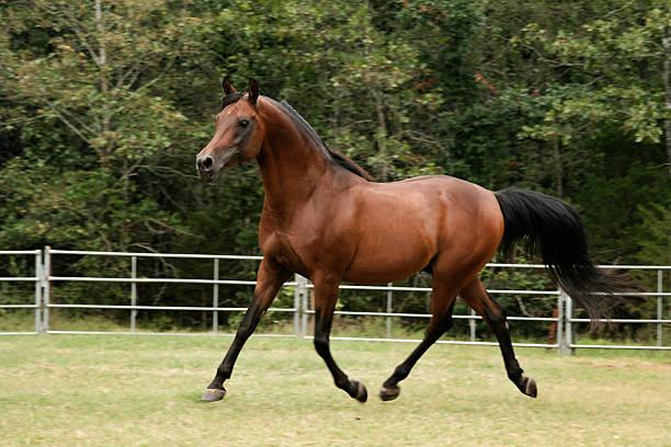 Trotting Arabian Stallion Bay arabian stallion trotting across paddock arabian horse stock pictures, royalty-free photos & images