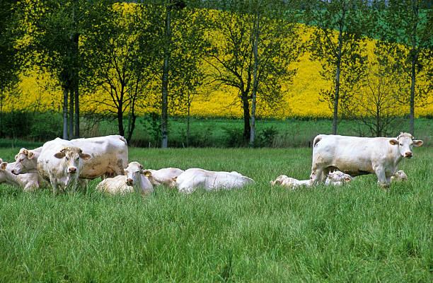troupeau de vaches stock photo