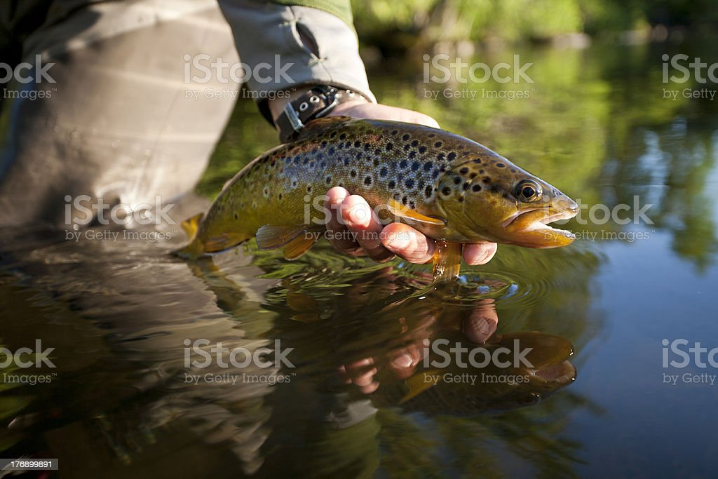 Trout, Bois Brule River Wisconsin stock photo