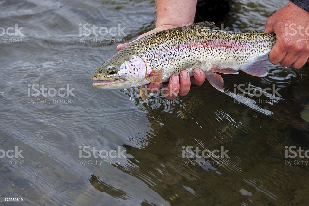 Trout Caught Flyfishing in Alaska royalty-free stock photo