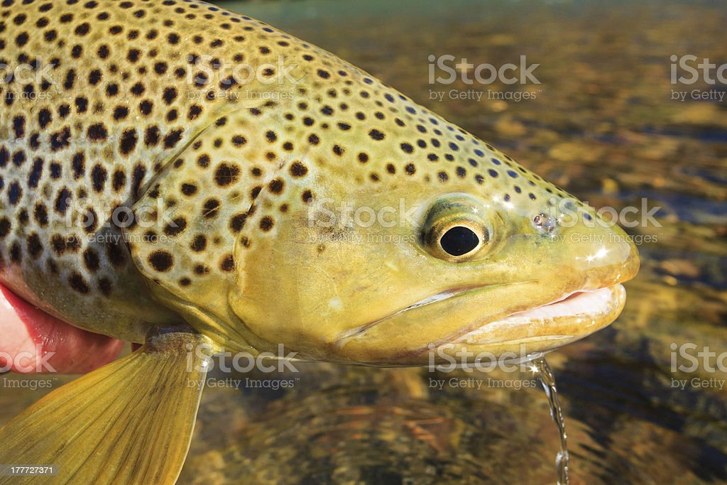Trout Close-Up royalty-free stock photo