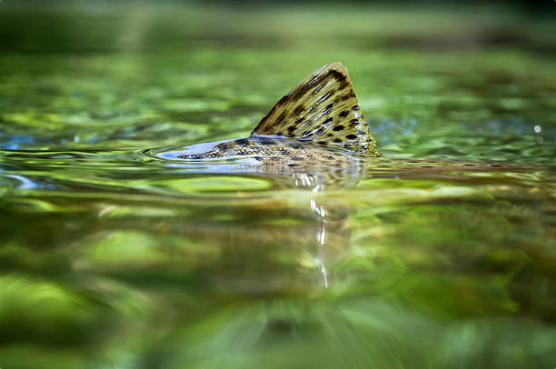 Trout fin Brown trout surfacing in a crystal clear creek. salmonidae stock pictures, royalty-free photos & images