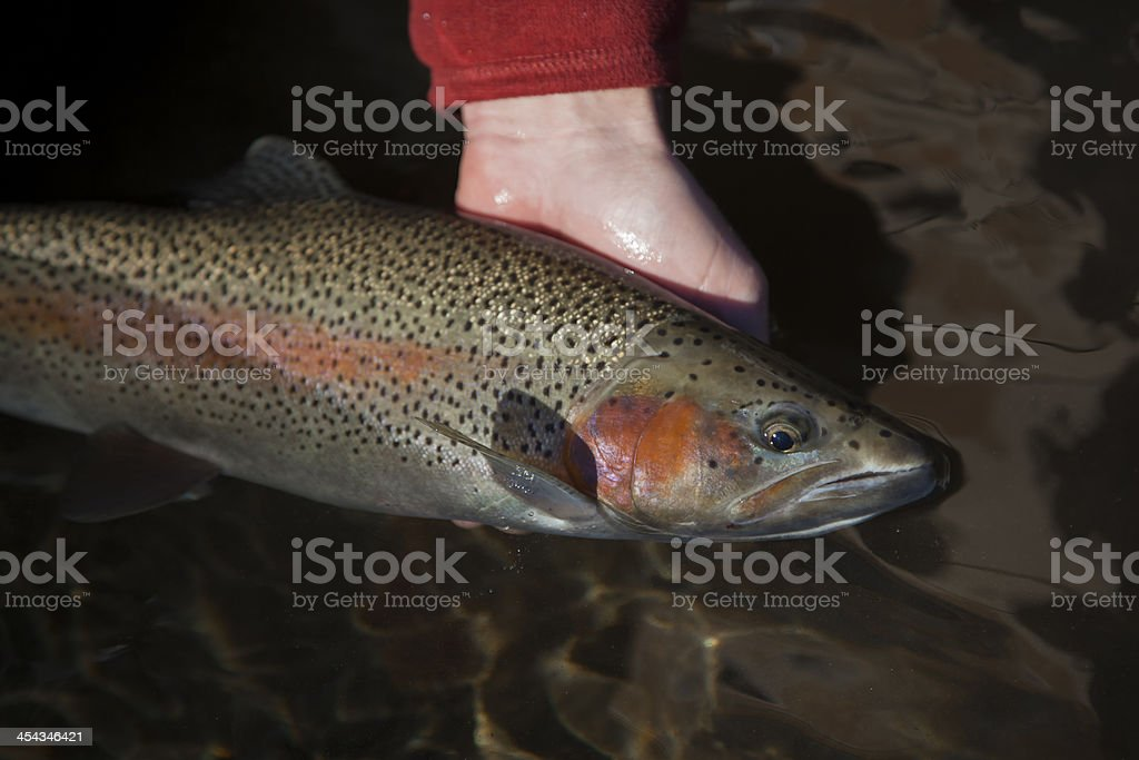Trout fish being caught royalty-free stock photo