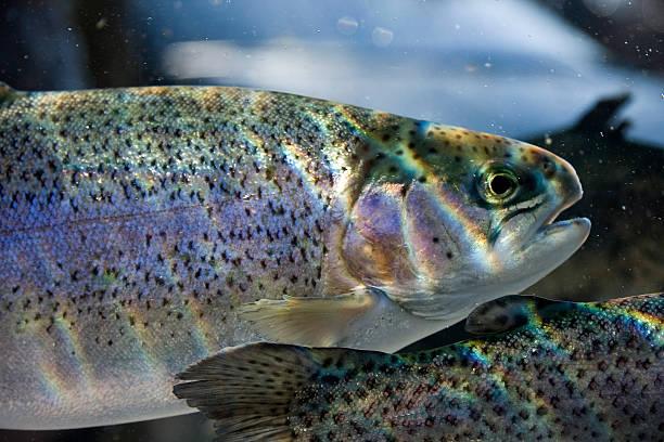 Forelle Fisch – Foto