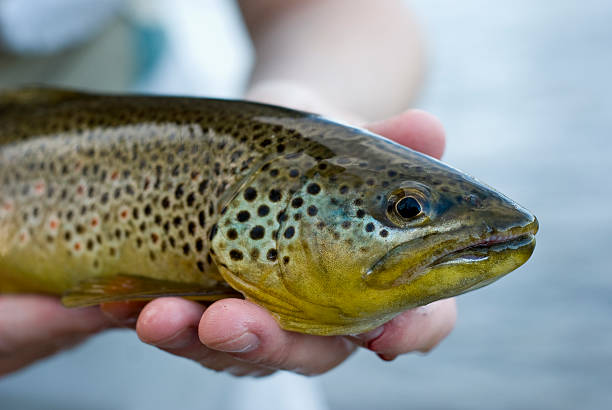 trout form the river stock photo