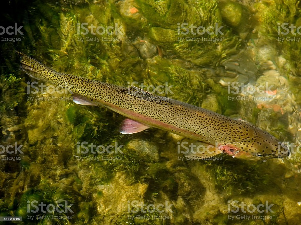 Trout in Clear Creek royalty-free stock photo