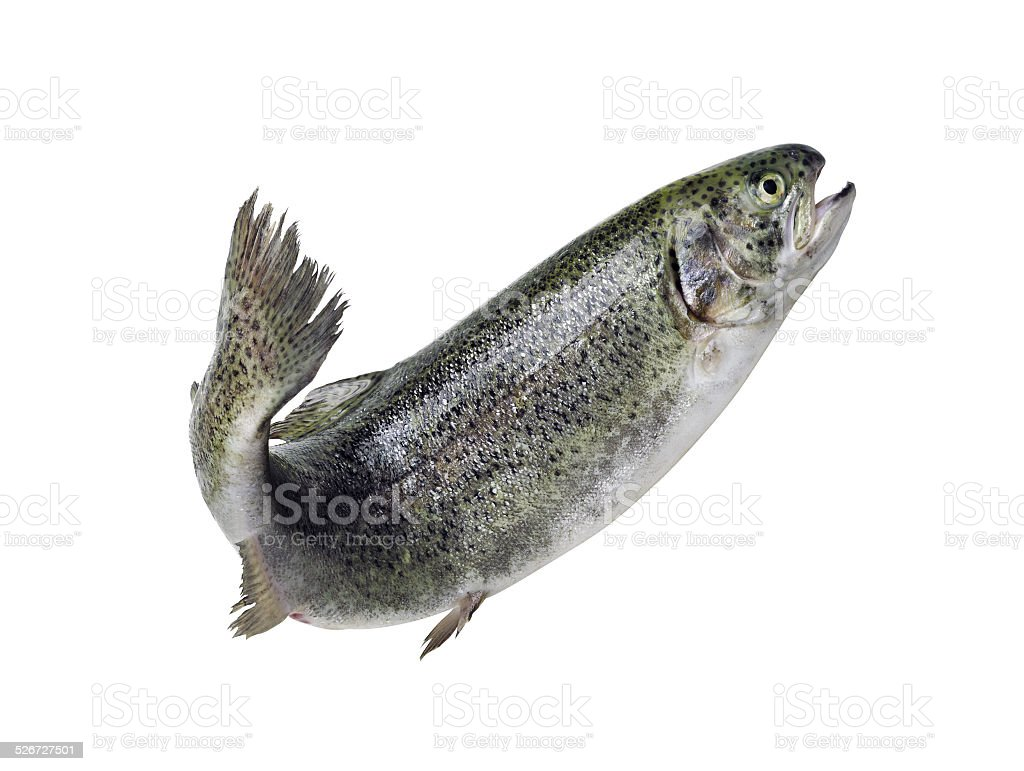 Trout isolated. stock photo