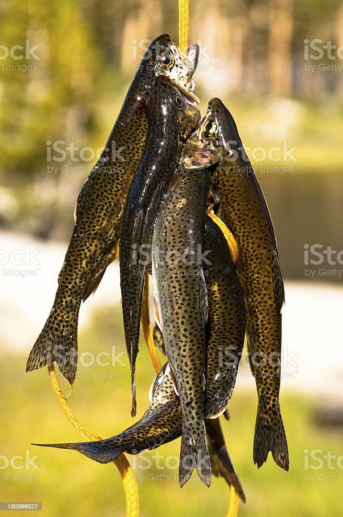 Trout On Stringer royalty-free stock photo