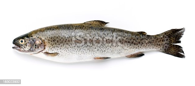 Trout isolated on white background