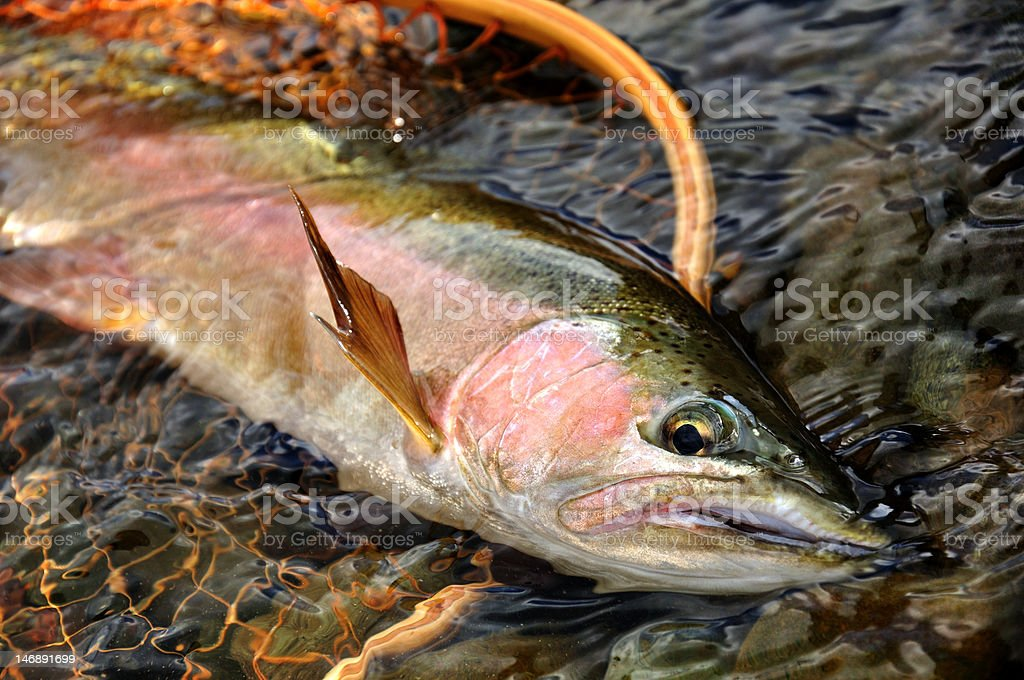 NZ Trout stock photo