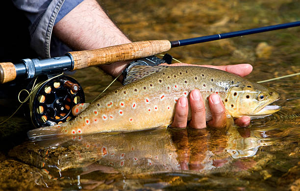 Trout closeup of a hand holding a brown trout salmonidae stock pictures, royalty-free photos & images
