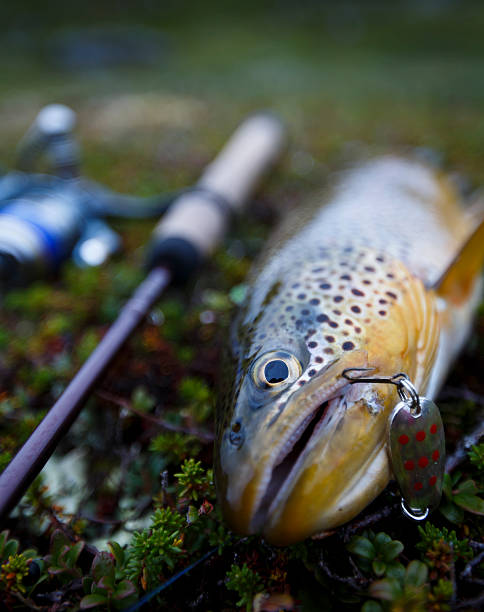 Trout. stock photo