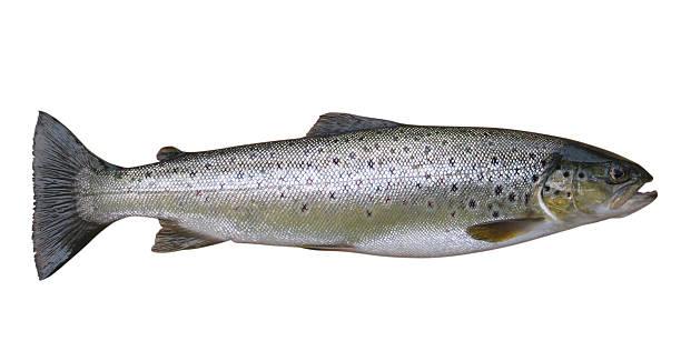 trota, pesce intero isolato su bianco - trout foto e immagini stock