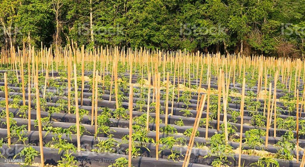 Truck garden or farm with tomato plants stock photo