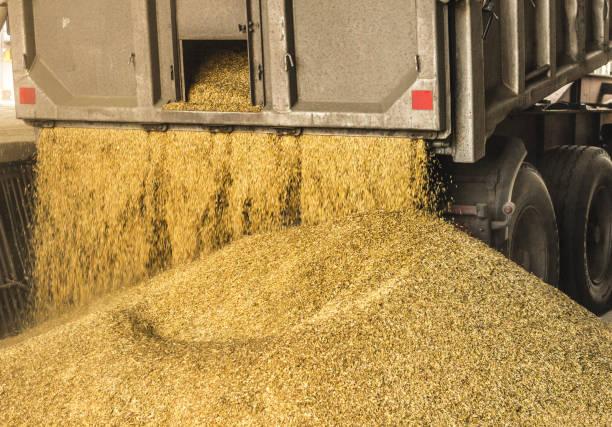 트럭은 곡물 저장 및 가공 공장, 곡물 저장 시설, 하역 종자, 작동에 곡물을 언로드 - 제조 공장 뉴스 사진 이미지