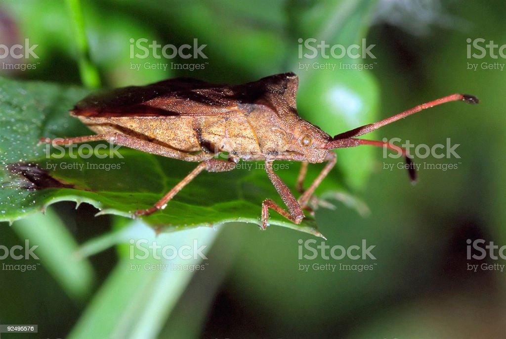 True bug royalty-free stock photo