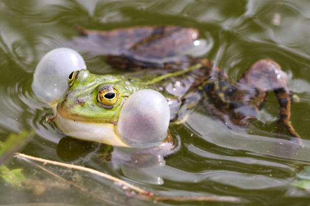 true frog in pond - croak stock pictures, royalty-free photos & images