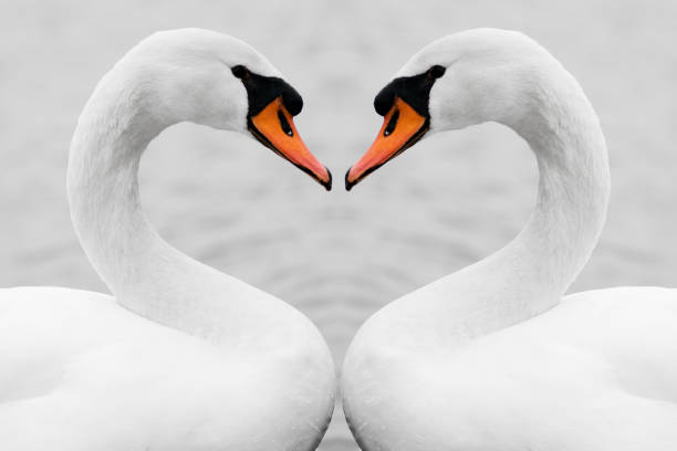true love of swans - symmetry stock photos and pictures