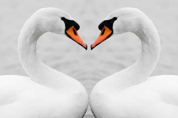 véritable amour de cygnes - Photo