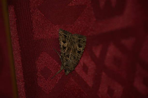 Mariposa do Nó do Verdadeiro Amante no bckground vermelho - foto de acervo