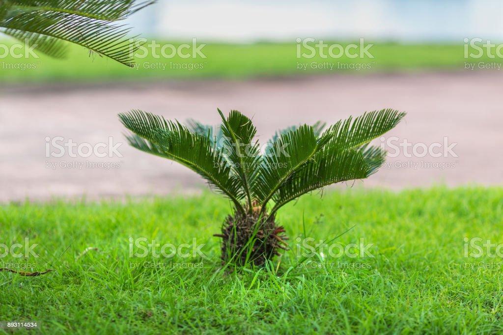 true sago palm on the lawn