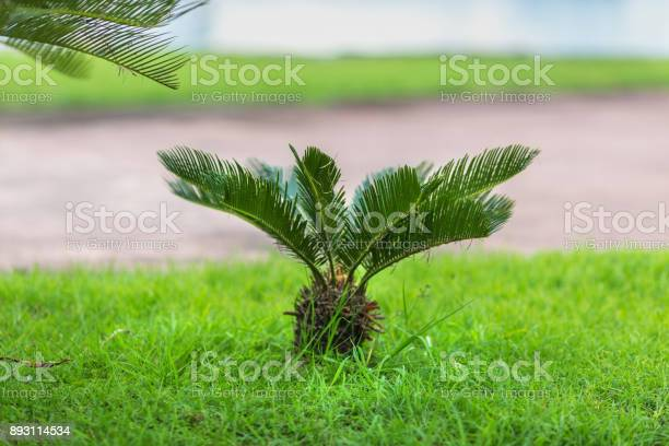 True sago palm on the lawn picture id893114534?b=1&k=6&m=893114534&s=612x612&h=qwn zx4csiygkb5zvjkugxjfljlcrbhovrsoorv0cfq=