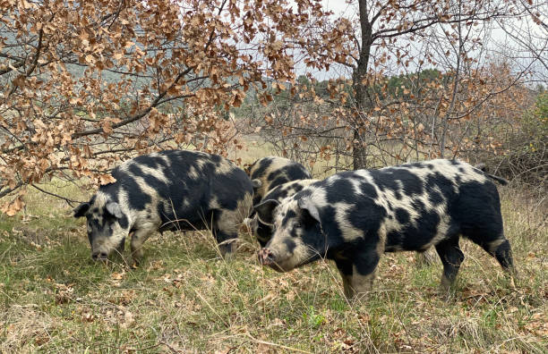 Truffle hunting pigs stock photo