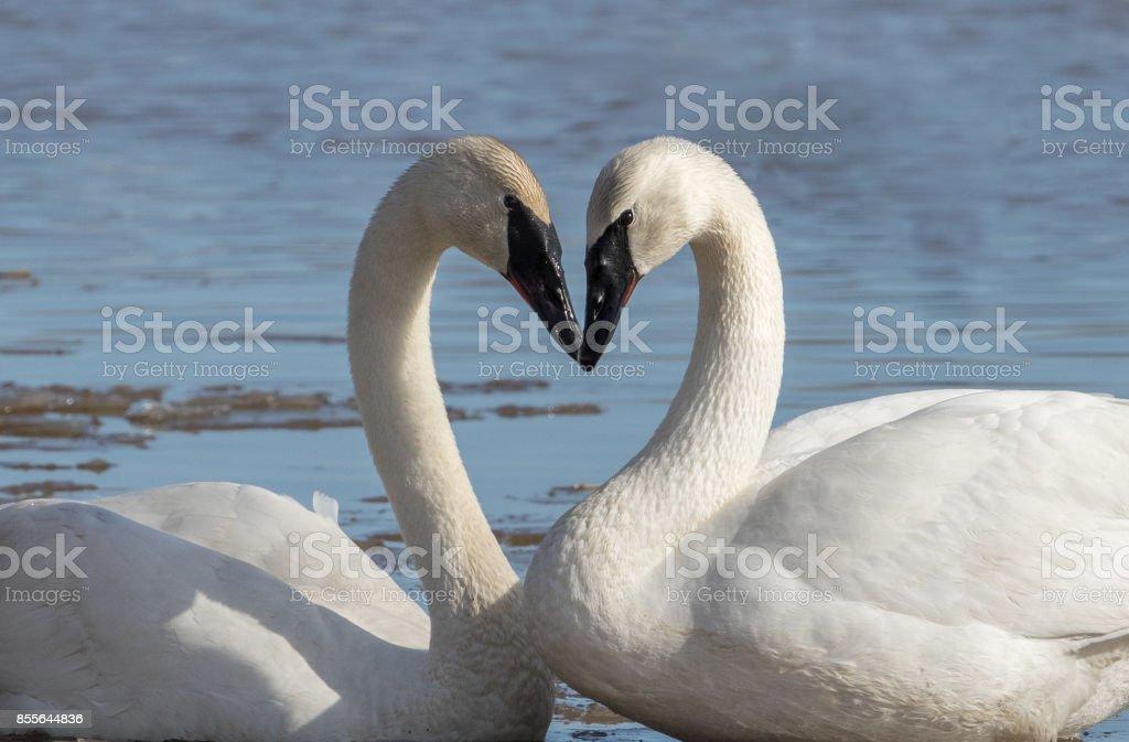 Trumoeter Swan Pair stock photo