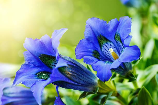trumpet gentiana blue spring flower in garden - gentiaan stockfoto's en -beelden