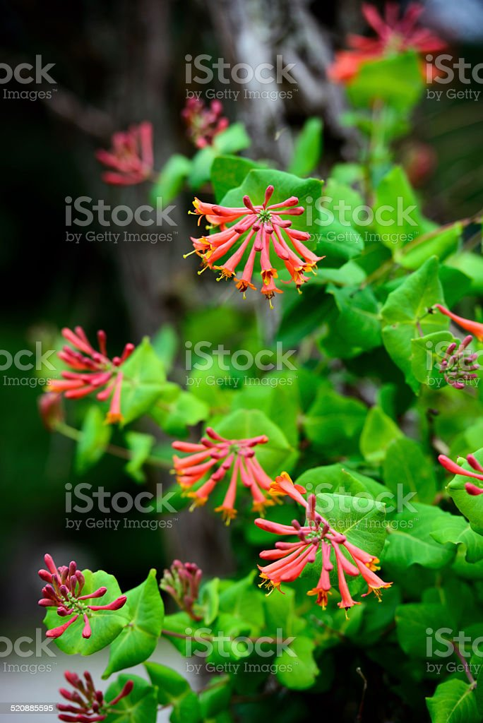 Trumpet Honeysuckle Flowers stock photo