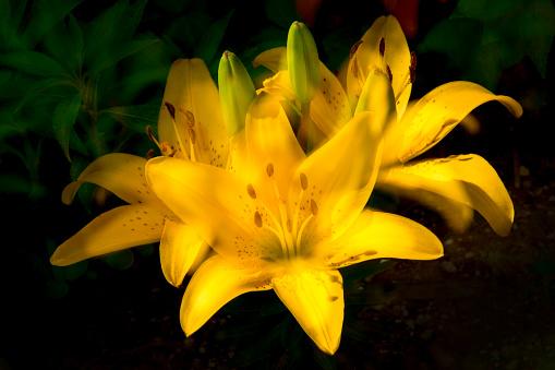 노란 나리꽃이 활짝 피어 있다.