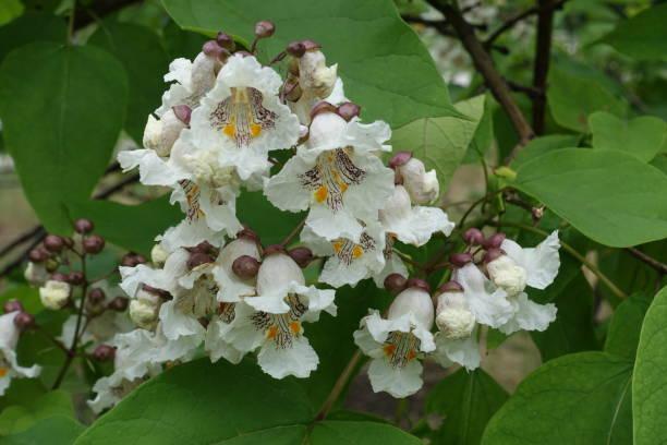 trompetenförmigen weiß mit gelben flecken blüten von catalpa - trompetenbaum stock-fotos und bilder