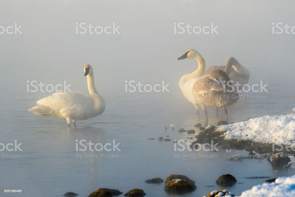 Trumpet Swans in hot spring by Grand Teton stock photo