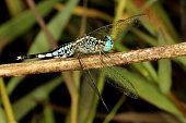 Trumpet Tail Dragonfly, Acisoma panorpoides, Coorg, Karnataka, India