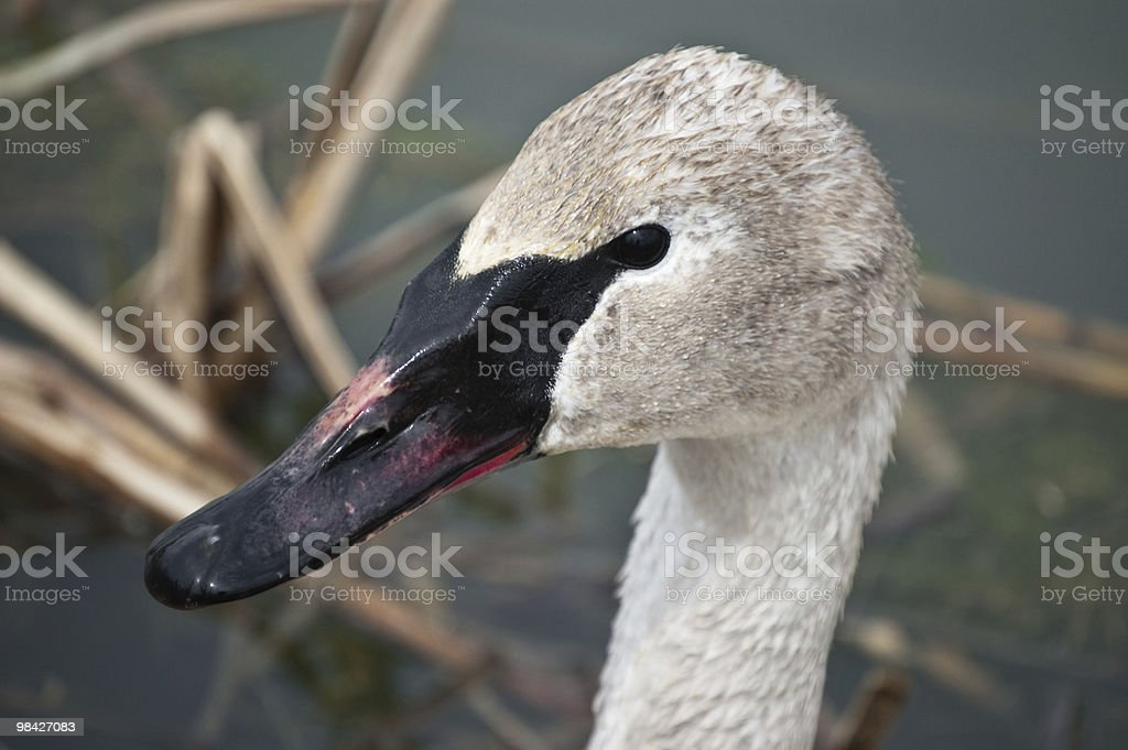 Cigno trombettiere Close-Up foto stock royalty-free