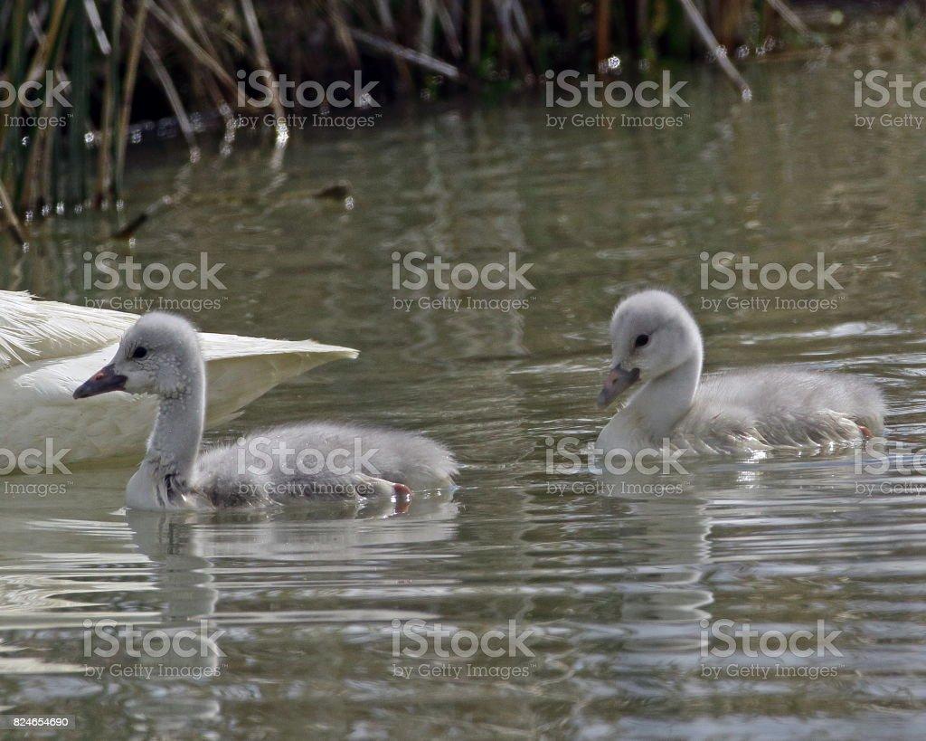 Trumpeter Swan Cygnets stock photo