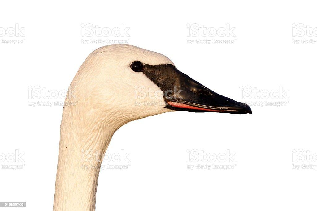 Trumpeter swan, Cygnus buccinator stock photo