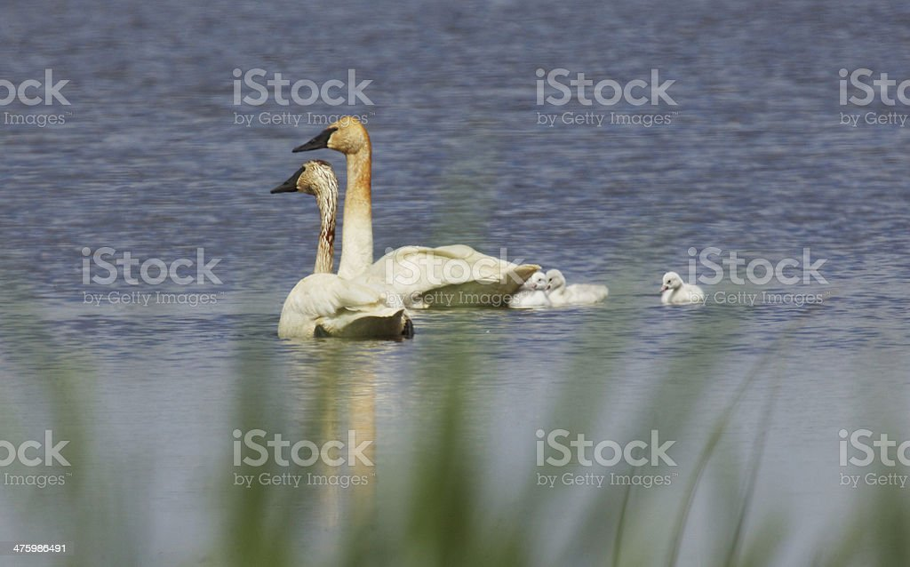 trumpeter swan family stock photo