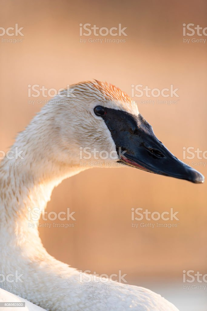 Trumpeter Swan in the spring stock photo