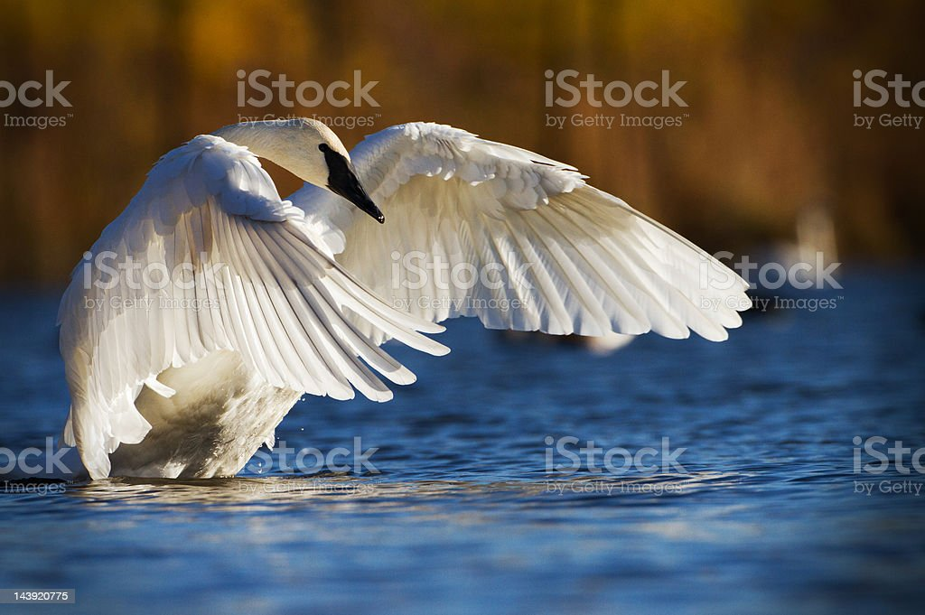 Trumpeter swan, North America's largest waterfowl. stock photo