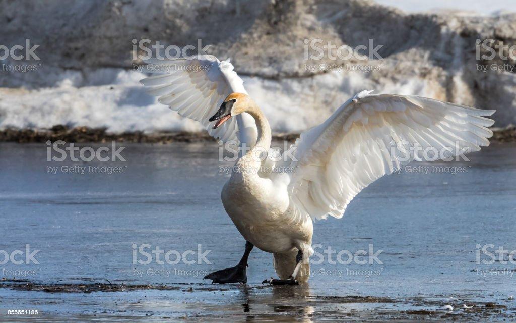 Trumpeter Swan on Thin Ice stock photo