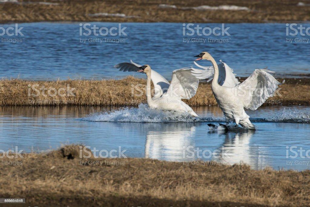 Trumpeter Swan Pair Landing stock photo