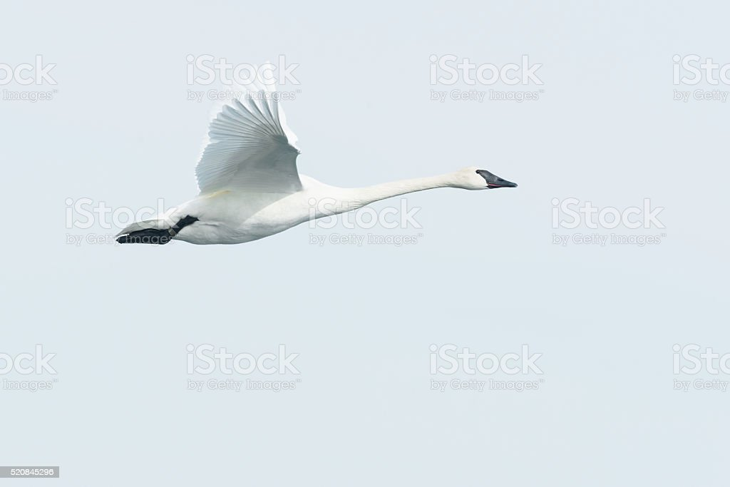 Trumpeter Swan royalty-free stock photo