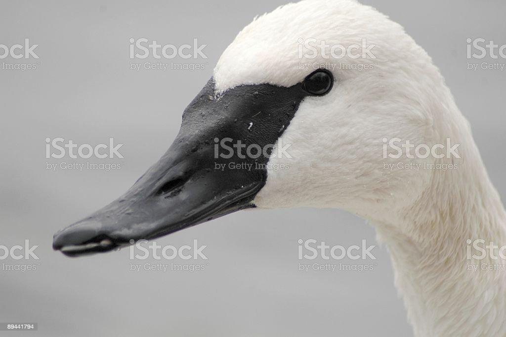 Trumpeter Swan Portrait royalty free stockfoto