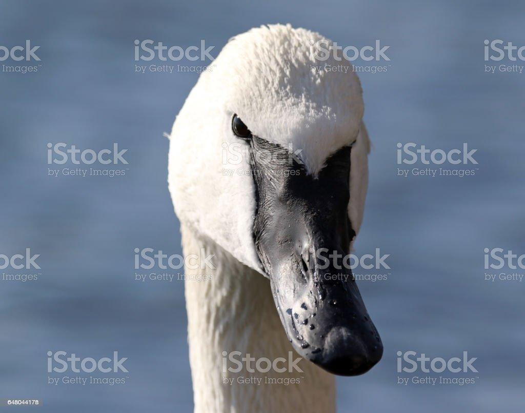 Trumpeter Swan Profile stock photo